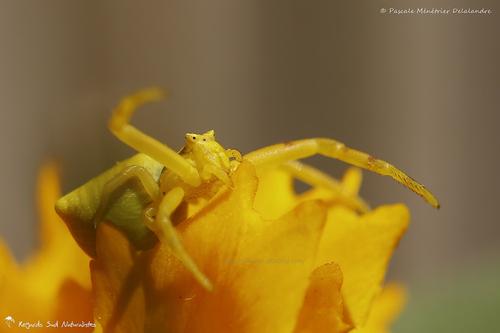Epeire fasciée, l'argiope frelon, l'épeire frelon, l'argiope fasciée ♂ - Argiope bruennichi