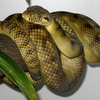 Adult High-Yellow Sorong Amethystine Scrub Python (Morelia amethistina). This animal lives in captiv