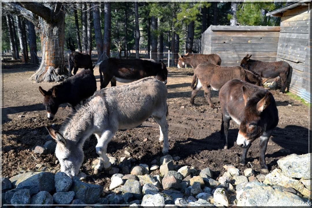 Les ânes du Niolu - Corse - 8 mars 2014