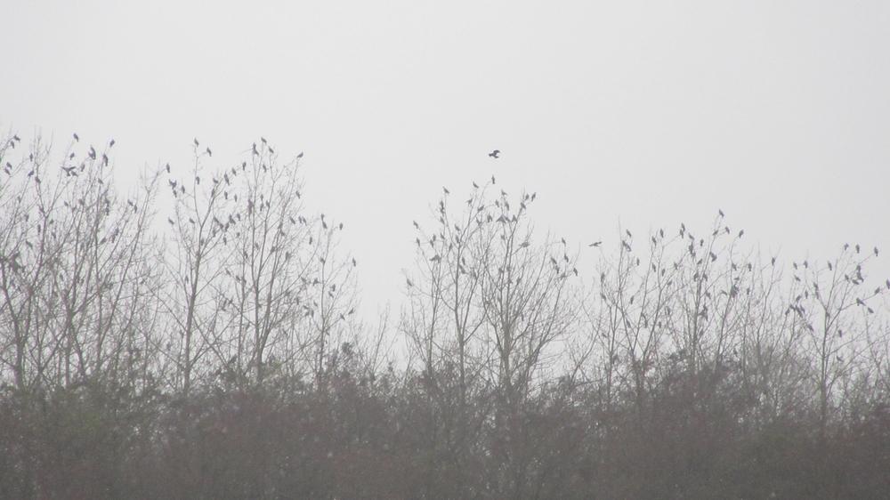 Des palombes