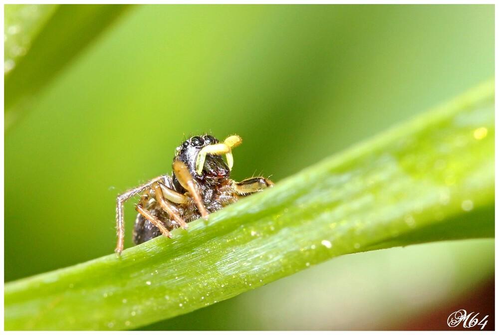 Araignée sauteuse : Héliophanus