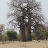 Mali Baobab