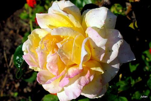 Mes belles roses jaunes !