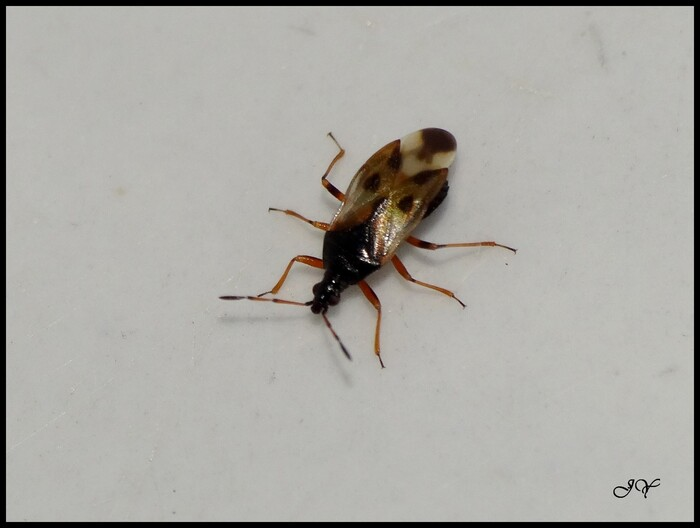 Anthocoris nemorum.