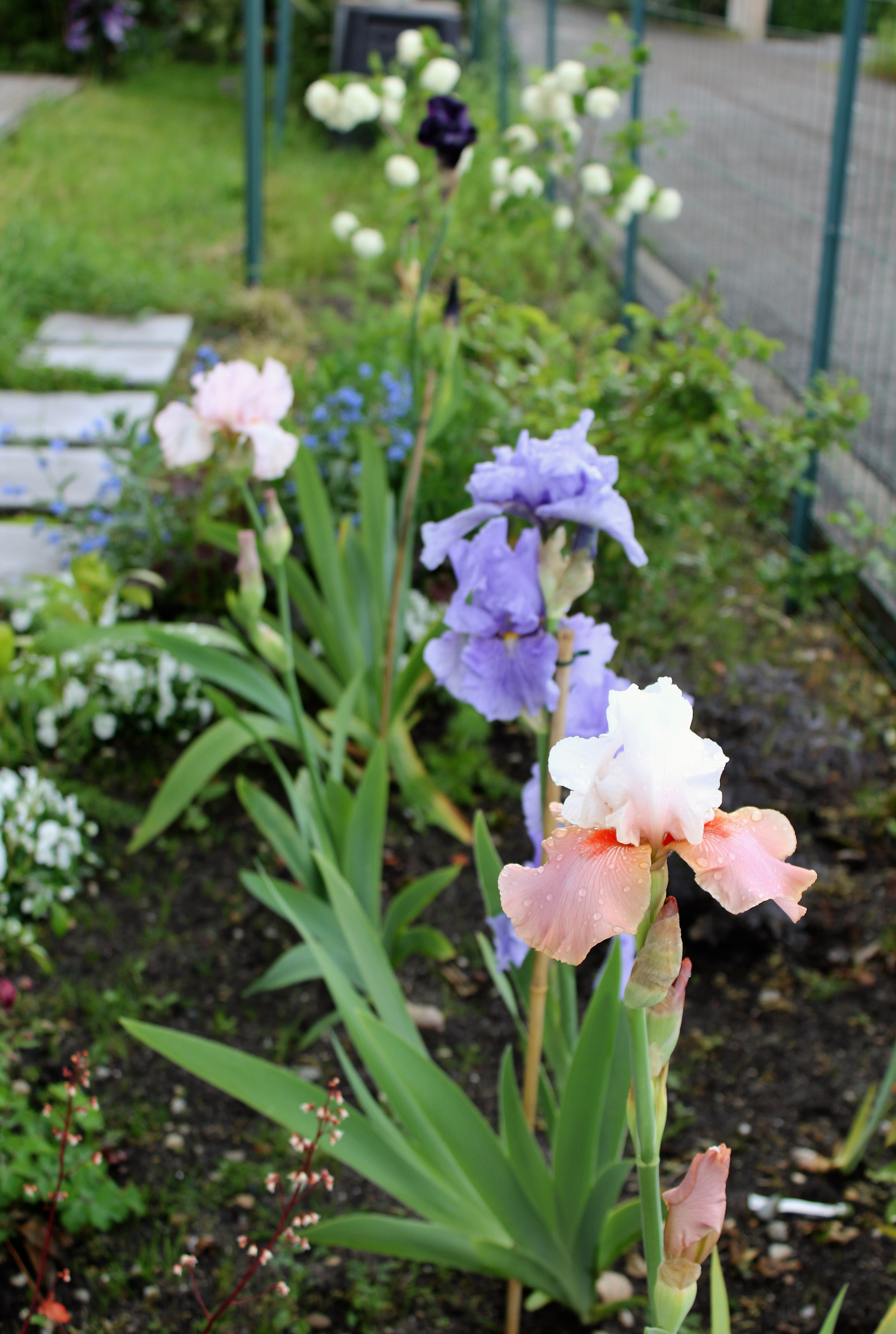 Iris 'Sugar Magnolia' d'Iris en Provence