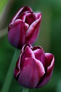 Tulipes Arabian Mystery2