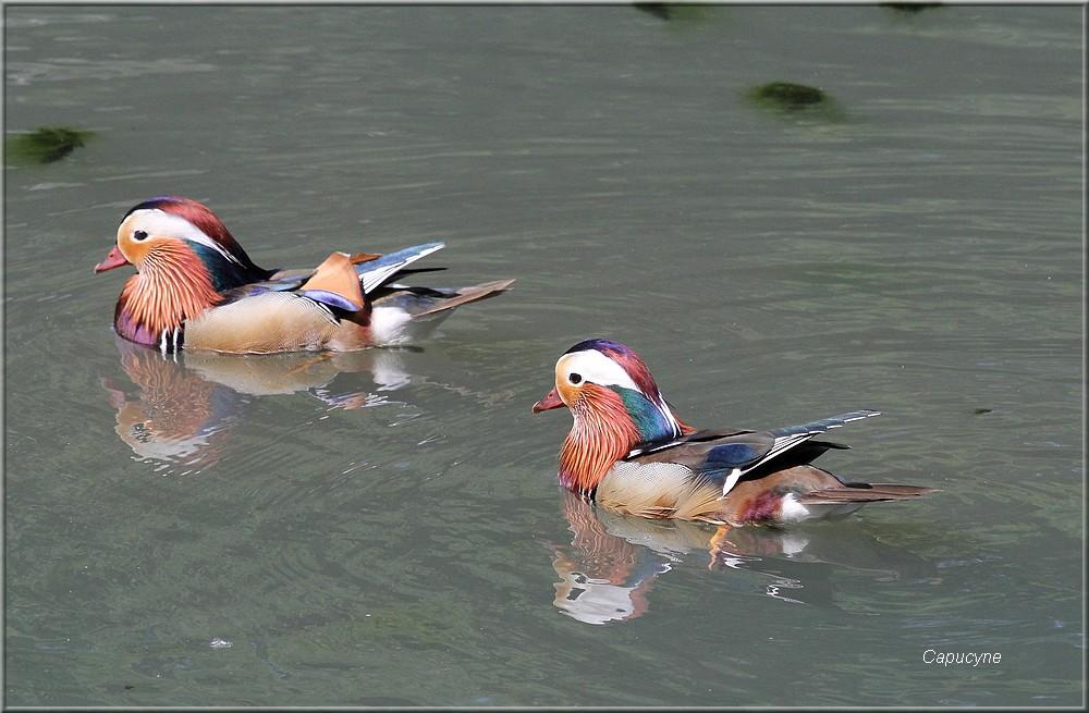 Un amour de canard mandarin !