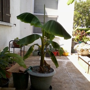 Bananier en pot a bien grandi - 22 Juillet 2013