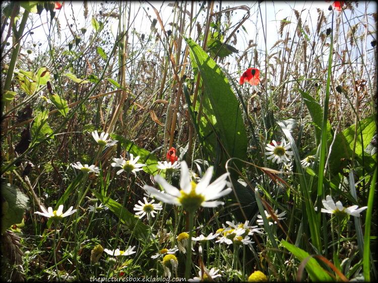 Fleurs (marguerites) tournées vers le ciel
