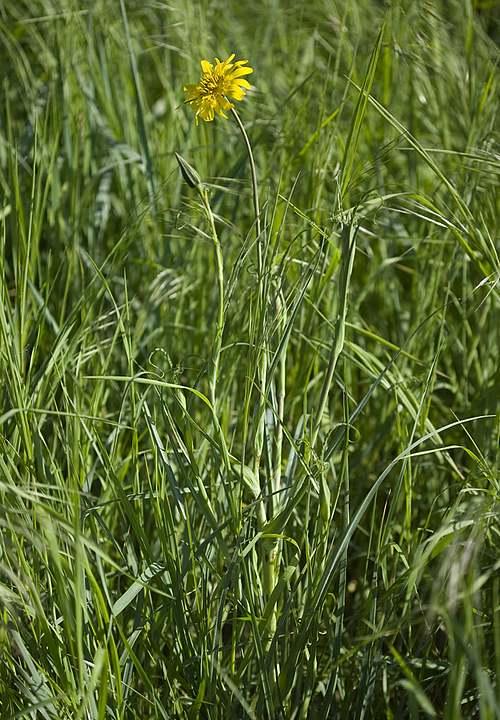 Vertus médicinales des plantes sauvages : Salsifis des près
