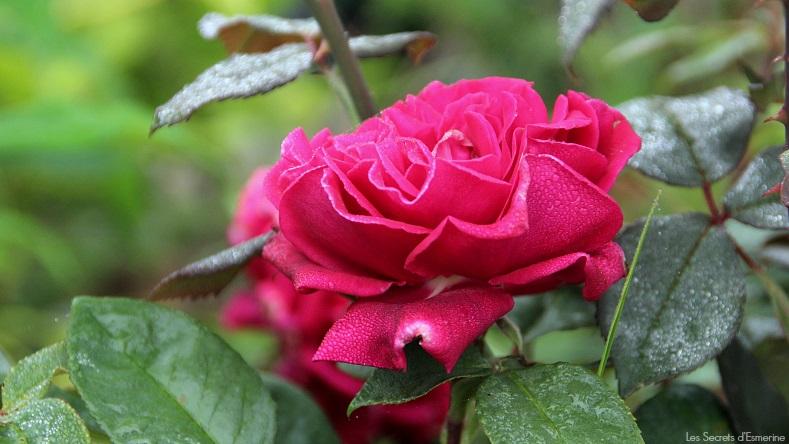 Fleurs [Défi du lundi] rose rouge