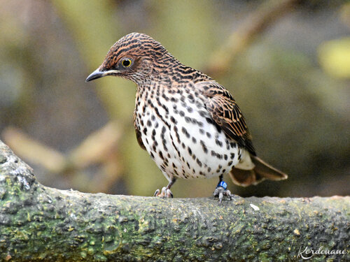 Photo Goura de Victoria - Zoo de Beauval