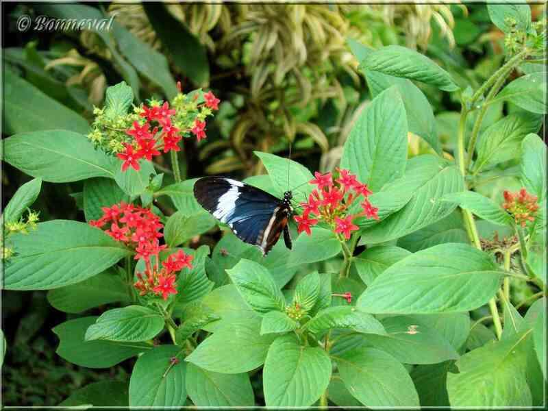 Papillons tropicaux Heliconius cydno galanthus