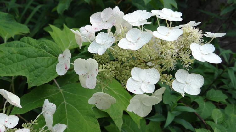 "Hydrangea Quercifolia ""Skies Dwarf"""
