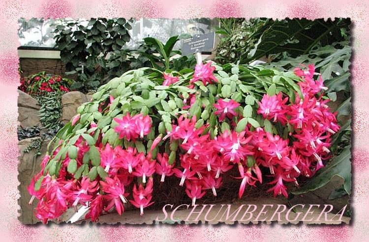 Plantes d'Intérieur : SCHLUMBERGERA  (Cactacées)