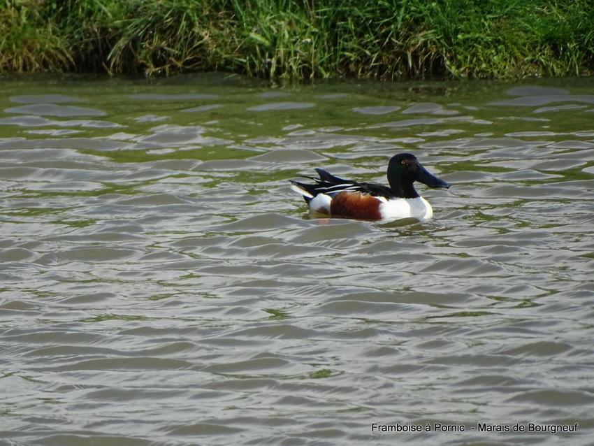 Canard souchet dans le marais
