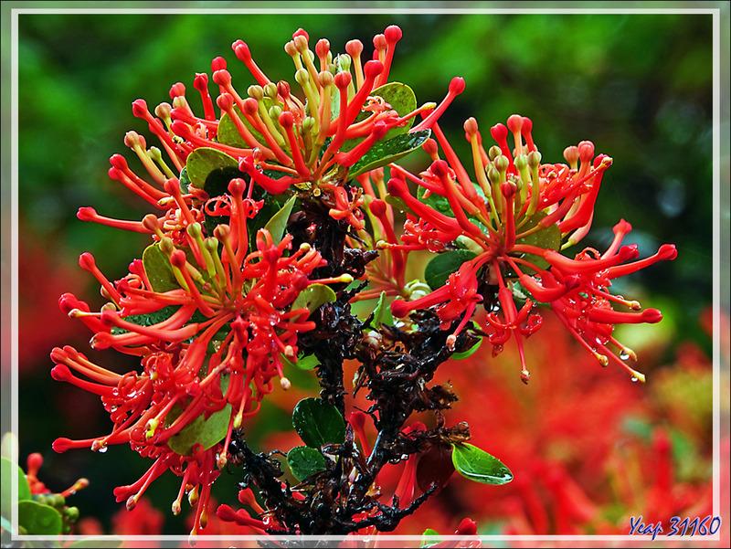 Débarquement dans la Baie de Wulaia et ses Arbres de feu du Chili, Notro o ciruelillo, Fire bush, Maku (Yagan) (Embothrium coccineum) - Ile Navarino - Chili