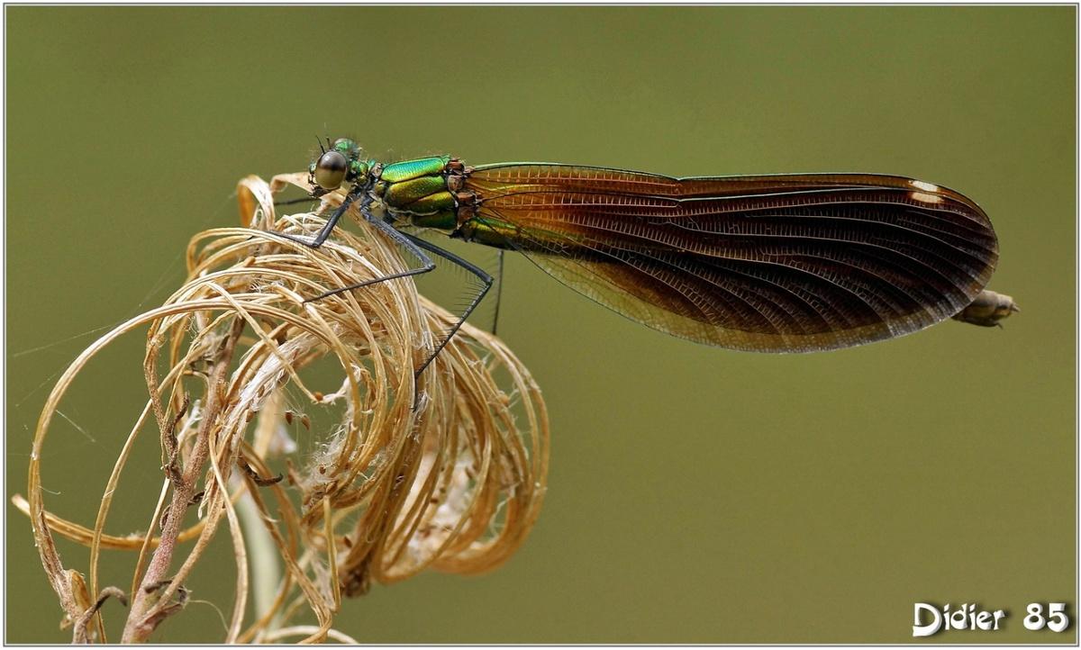 Caloptéryx Vierge (2) - Calopteryx virgo / Femelle