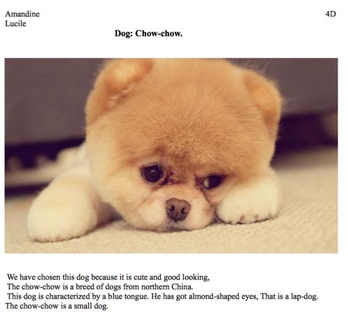 CHOW CHOW (DOG)