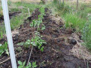 Plantation de plants de tomates