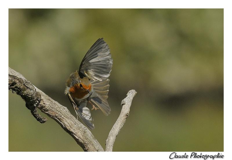 je photographiais un gobe mouche femelle et j'espérais la prendre à l'envol...Mais à la place c'est un rouge gorge qui est venu se poser au moment même où je déclenchais ;)