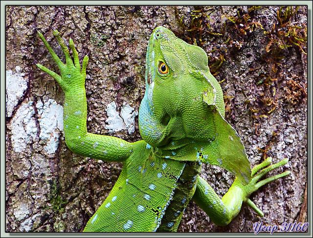 Blog de images-du-pays-des-ours : Images du Pays des Ours (et d'ailleurs ...), Lézard basilic à plumes ou à crête (Basiliscus plumifrons) - Puerto Viejo de Sarapiqui- Costa Rica