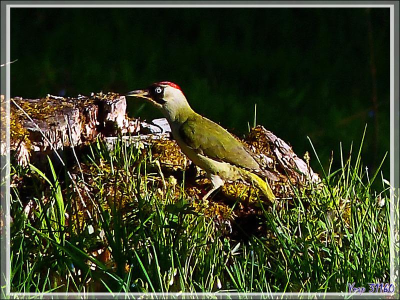 Pic vert ou Pivert femelle, European Green Woodpecker (Picus viridis) - Lartigau - Milhas - 31