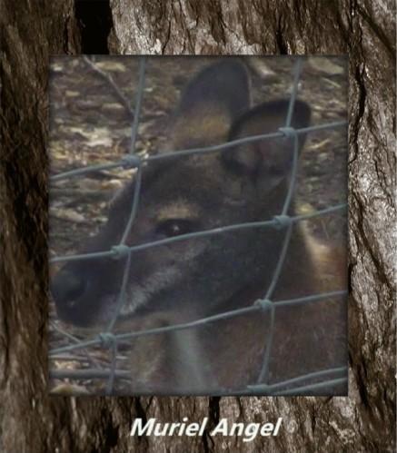 kangouroux-parc-des-felins--copiry-Ma.JPG