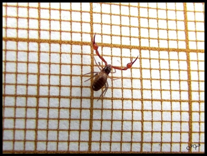Pseudoscorpion.