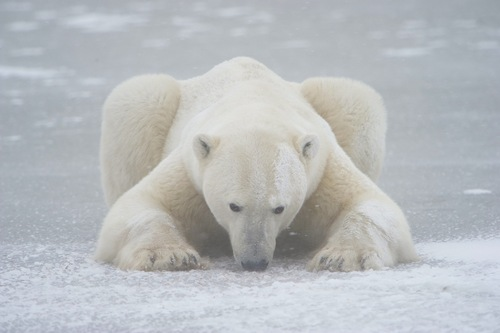 Vincent Munier Photographer Captures Stunning Arctic Wildlife