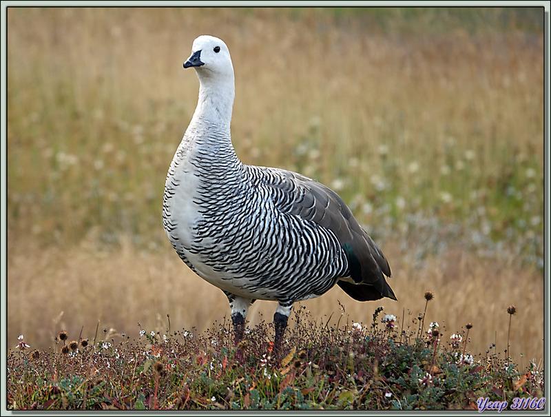 Ouette de Magellan, Upland Goose (Chloephaga picta) - Terre de Feu - Argentine