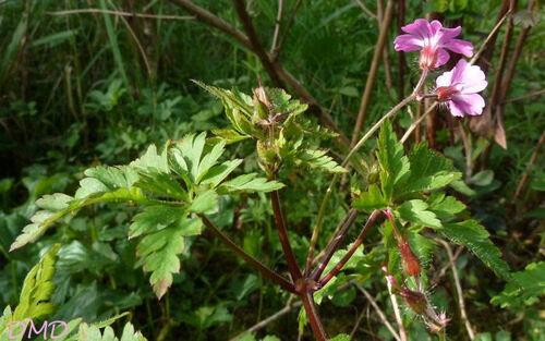 Geranium robertianum - herbe à Robert