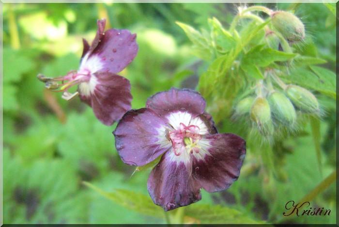 """Geranium phaeum """"Samobor"""" et première rose"""