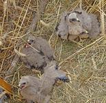 • Départ de la saison de sauvegarde des nids de busards
