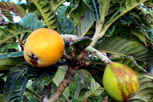 Les abricots de mon voisin& les nèfles du Japon !