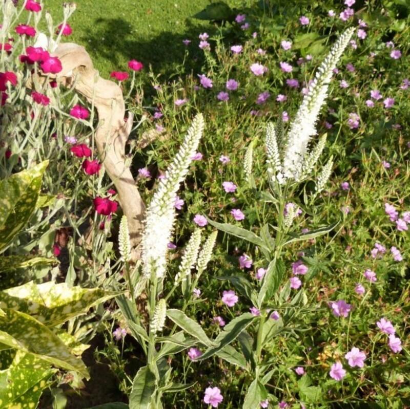 véronique Charlotte - juin 2014 - première floraison (800