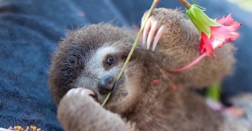 Le plus mignon des Bébés Paresseux a été sauvé au Costa Rica (13)