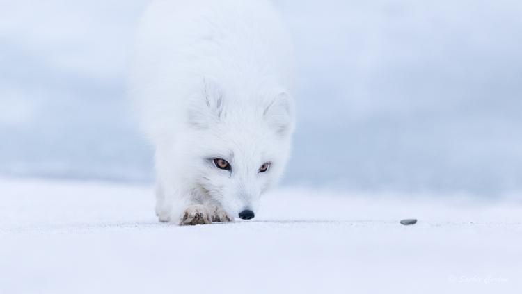La suite des renards du 30/4