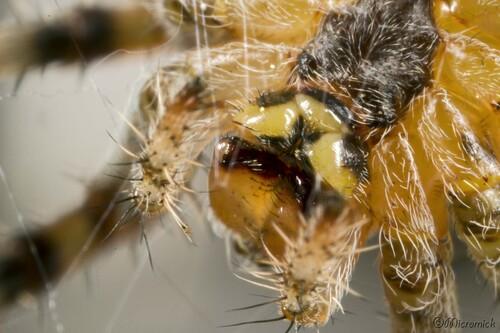 Epeire diadème (Araneus diadematus)