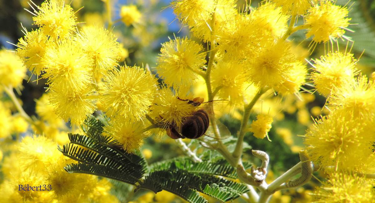 mon mimosa en fleurs