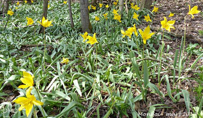 Tulipa sylvestris subsp. sylvestris - tulipe sauvage
