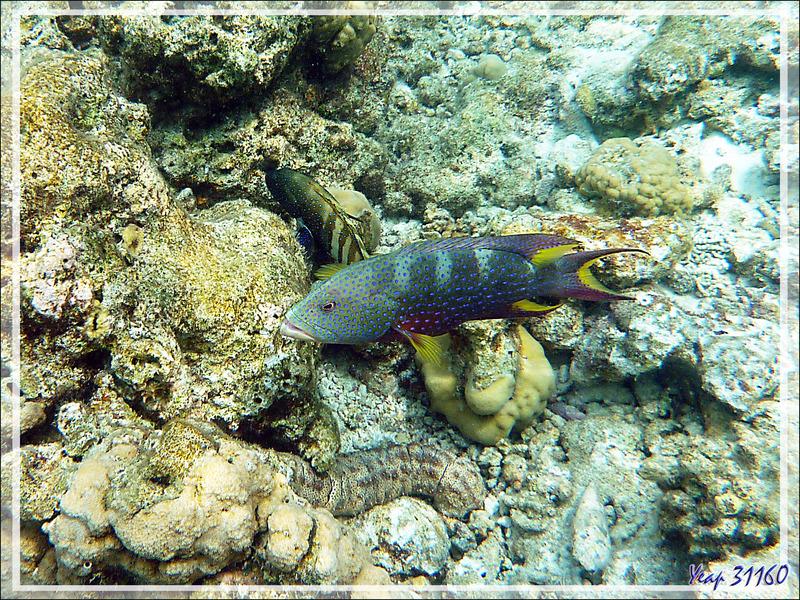 Et encore le Mérou croissant de lune ou Loche-caméléon ou Croissant queue jaune spécimen bleu, Yellow-edged lyretail (Variola louti) - Moofushi - Atoll d'Ari - Maldives