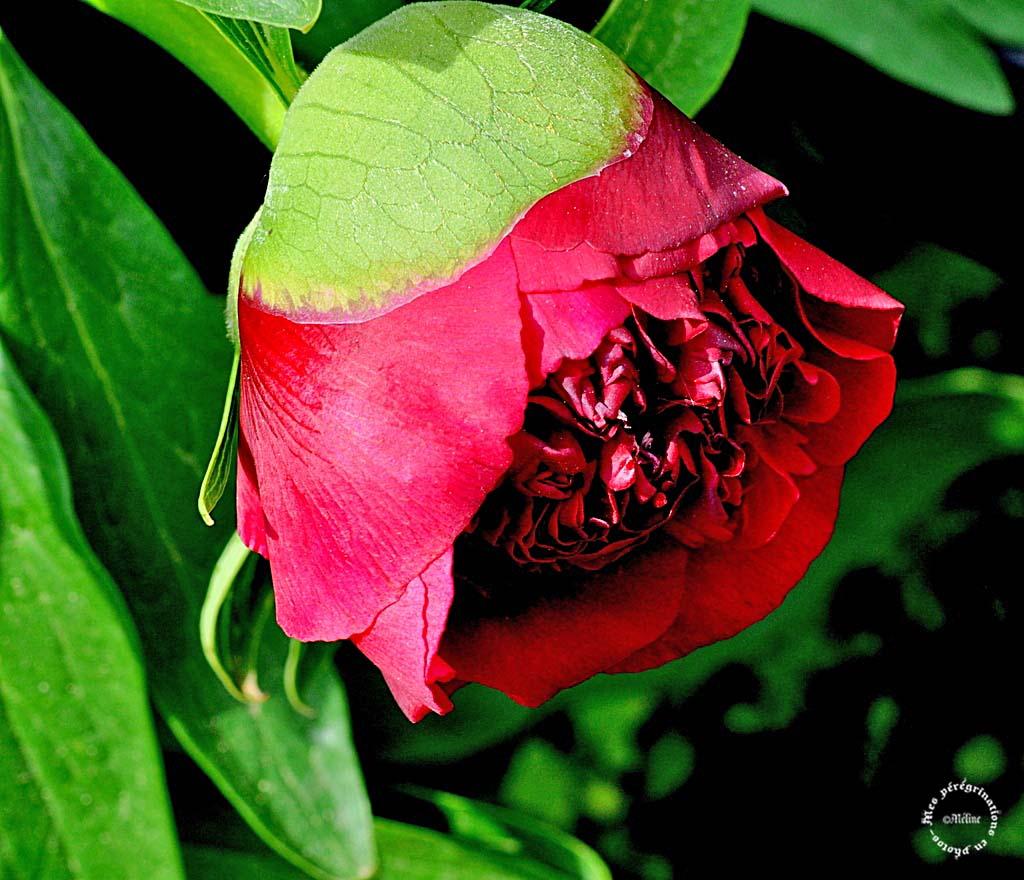 Les fleurs de mon jardin (5)