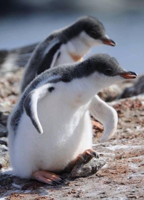 C P  PINGOUINS  ou  MANCHOTS  3