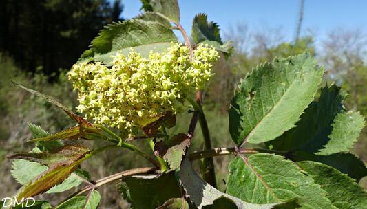 Sambucus racemosa  -  sureau à grappes
