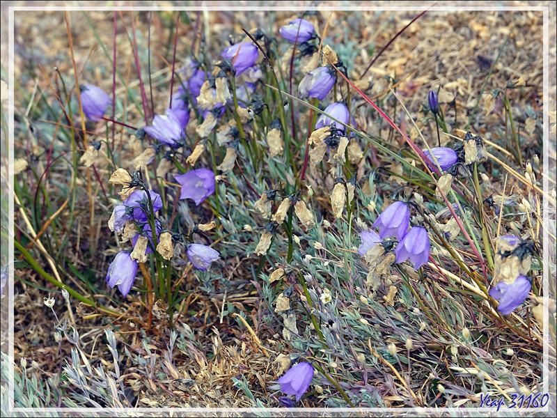 Campanule à feuilles rondes, Bluebell Bellflower (Campanula gieseckiana ssp. groenlandica) - Sermermiut - Baie de Disko - Groenland