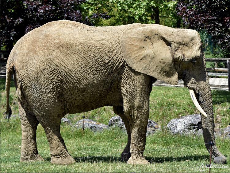Photo d'éléphant d'Afrique - Zoo de Beauval