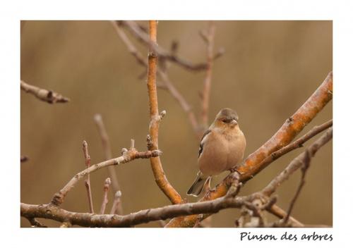 Les Petits Oiseaux du Teich - Pinsons des Arbres