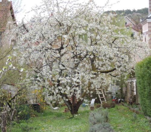 mon cerisier rec