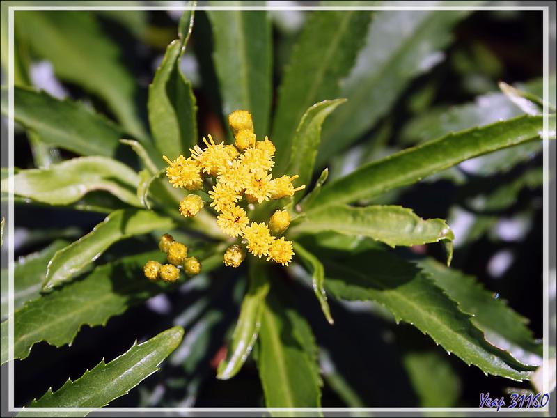 Fleur jaune (possible séneçon) - Nosy Tsarabanjina - Archipel Mitsio - Madagascar